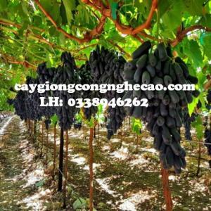 Cung cấp giống cây: Nho Đen Trái Dài
