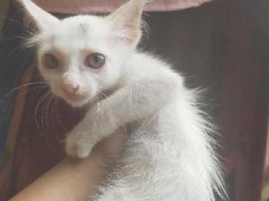 Mèo ta lai anh lông dài trắng tinh (cái)