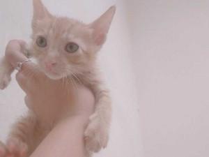 Mèo ta lai anh lông ngắn 2 tháng tuổi