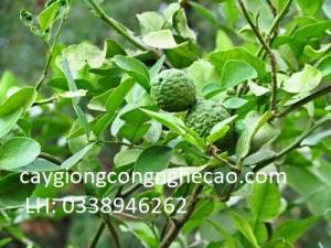 Cung cấp cây giống: Chanh Thái ( Chanh Não Người )
