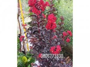 Bán cây hoa tường vi đỏ huyết long