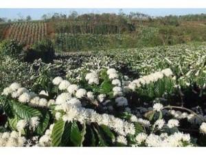 2020-08-07 19:24:13 Mật ong 100% thiên nhiên hoa cafe Daknong 150,000