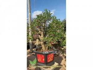 Cần bán mấy cây dâu tằm bonsai gốc khủng