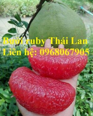 Cung cấp giống bưởi ruby, bưởi Thái Lan chất lượng cao