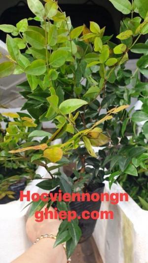 Cây Nho Thân Gỗ ( cây ăn quả độc và lạ ) - Hướng dẫn cách trồng