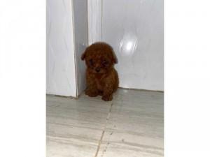 Chó poodle teacup cái nâu đỏ 3 tháng tuổi tiêm phòng và tẩy giun định kì