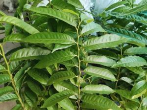 Cách trồng giống na đỏ cho năng suất cao - hocviennongnghiep.com