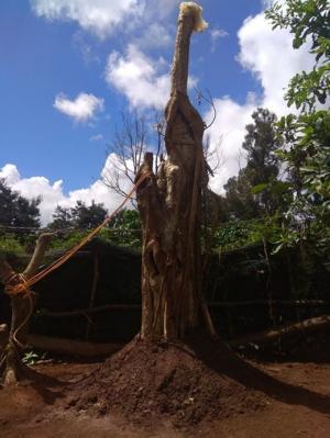 Cây bằng lăng rừng - Chư Sê, Gia Lai