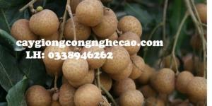 Cung cấp cây giống: Nhãn Hương Chi ( Nhãn Hưng Yên )
