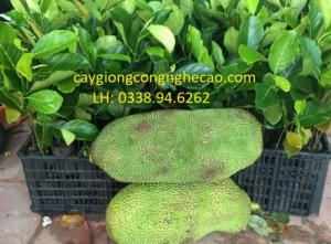 Cung cấp cây giống: Mít Trái Dài (Malaysia)