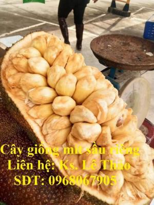 Giống Mít Sầu Riêng, Bán Giống Mít Sầu Riêng Chuẩn 100%, F1. Hàng Cam Kết Giấ