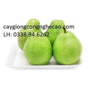 Cung cấp giống cây: Ổi Lê Đài Loan