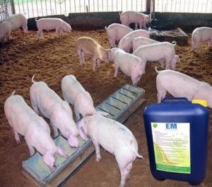 Chế phẩm EM ứng dụng cho chăn nuôi