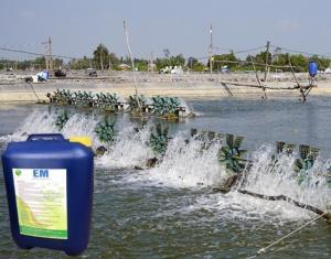Chế phẩm sinh học EM gốc và ứng dụng trong nuôi trồng thủy sản