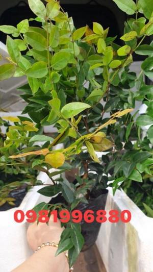 Mua nho Thân gỗ ở đâu mới chuẩn chất lượng cây giống ?