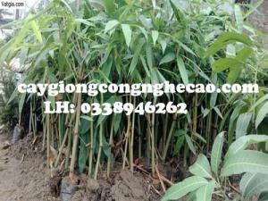 Cung cấp cây giống: Tre Bát Độ