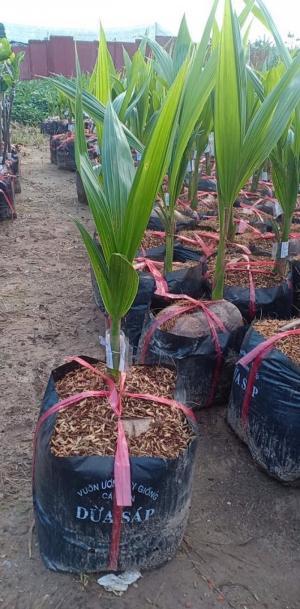 Cây giống đất viêt, cung cấp giống dừa sáp, cây giống F1, giao hàng toàn quốc