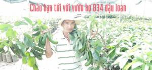Giống bơ 034 đầu dòng dậu loan - vườn nguồn gốc bơ 034 việt nam