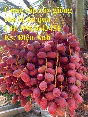 Cung cấp cây giống chà là đỏ, cây giống chà là vàng, chà là cấy mô nhập khẩu