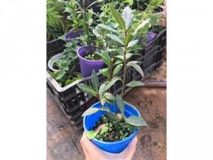 Nguyệt quế ( Bay leaf )
