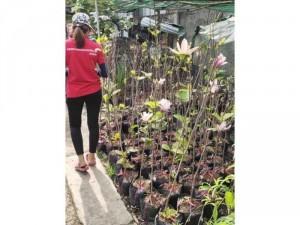 Cần bán nhanh 300 cây hoa mộc lan đang nụ