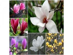 Cần đẩy nhanh 300 cây hoa mộc lan đang có nụ