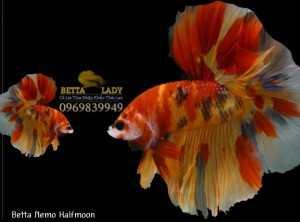 Cá Betta Nemo Halfmoon Nhập Khẩu Thái Lan