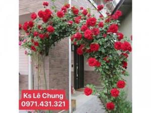 Hoa hồng cổ leo Hải Phòng