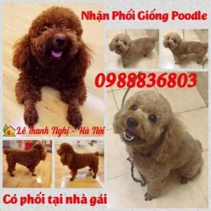 Nhận phối giống Poodle Hà Nội