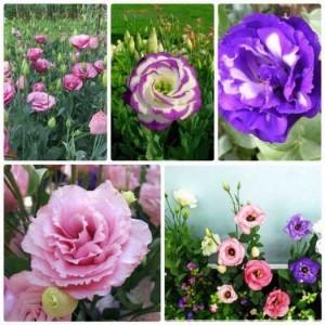 Giống hoa Cát Tường cung cấp cho mùa tết 2021.
