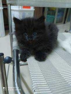 Còn 1 bé Mèo Anh Lông Dài Màu Mun 2,2 triệu