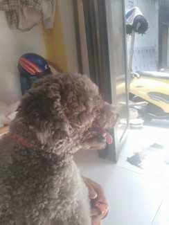 Chó Poodle TPHCM - Chó Poodle con 14 tháng màu xám
