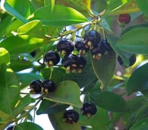 Cây giống Cherry Brazil - Giống mới cho quả chỉ sau 12 tháng