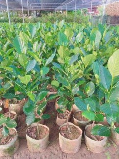 Mua loại cây giống mít Malaysia ở đâu mới đảm bảo chất lượng .