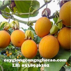 Cung cấp cây giống: Chanh Leo Vàng Ngọt Colombia