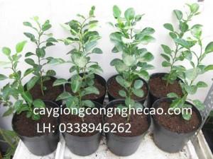 Cung cấp cây giống: Chanh Chúc, Chanh Não Người, Chanh Thái