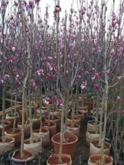 Giống cây hoa Mộc Lan tết 2021 - kỹ thuật trồng và chăm sóc - 0981.996.880