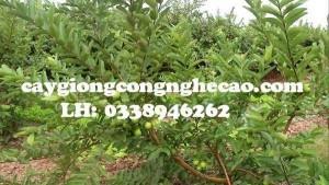 2020-11-29 14:58:02  6  Cung cấp cây giống: Ổi Đông Dư 25,000