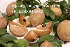 Bán giống cây: Hồng Xiêm Xoài