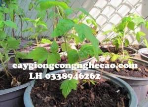 Cung cấp cây giống: Mâm Xôi, Phúc Bồn Tử
