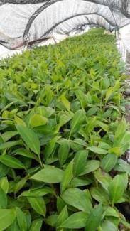 Giống chuối tiêu hồng - chuối nuôi cấy mô - 0981.996.880 .