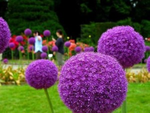Hoa Allium - Onion Giant