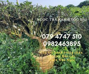 Mua Cây Trà Xanh Trồng Chậu TPHCM- Ngọc Chè Xanh Tóc Dài