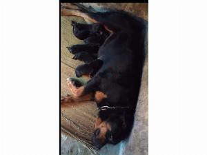 Bán chó Rottweiler Con dòng đại