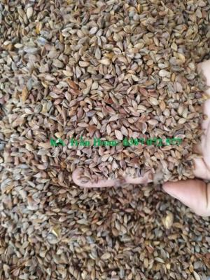 Bán hạt giống cây Táo mèo, Sơn Tra.