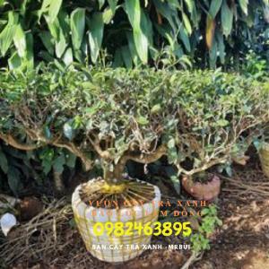 Bán cây trà xanh