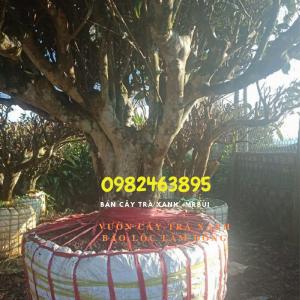Cây Trà xanh làm kiểng bonsai trồng chậu