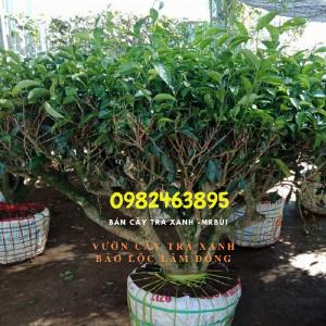 Mua cây chè xanh ở TPHCM trồng chậu sân thượng, làm event