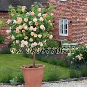Hạt giống hoa hồng thân gỗ – Bịch 10 hạt