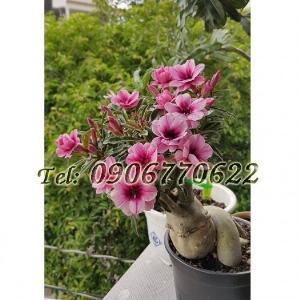 Hạt giống hoa sứ mix 2 màu Thái Lan hồng phấn – Bịch 10 hạt